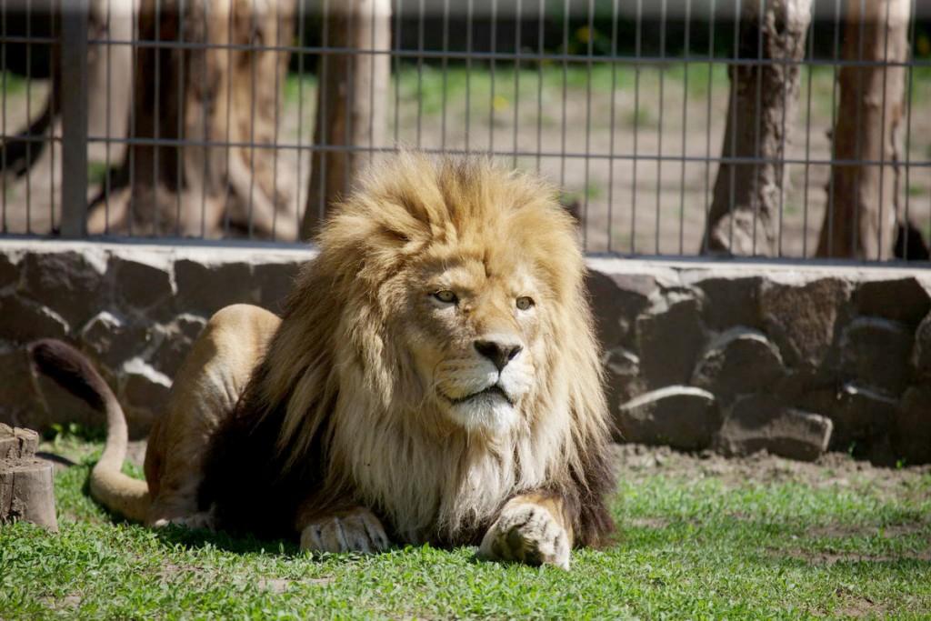 nyiregyhazi-allatkert-oroszlan