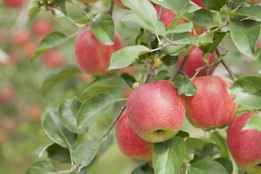Mezőgazdaság - alma