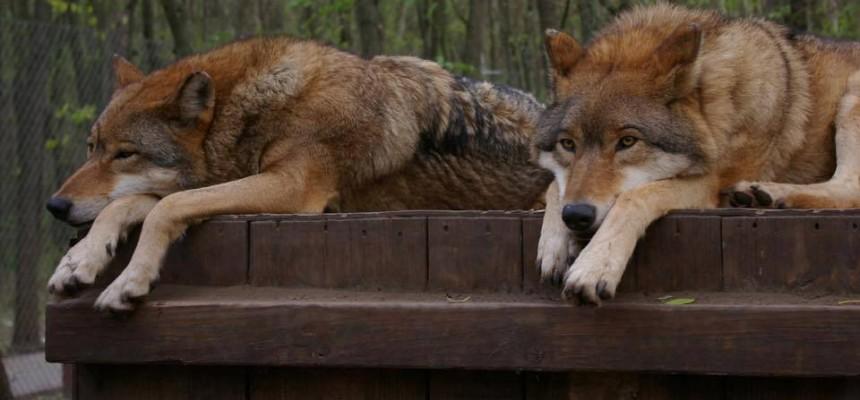 Veresegyházi medvefarm - farkasok