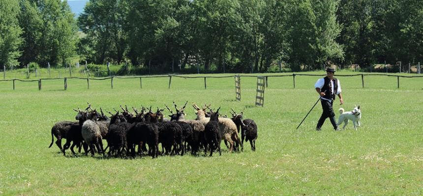 pásztorkutya